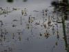 utricularia-australis-007