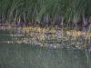 utricularia-australis-008