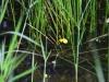 utricularia-australis-010