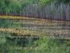utricularia-australis-012