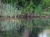 utricularia-australis-014