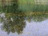 utricularia-australis-015