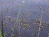 utricularia-australis-016