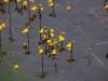 utricularia-australis-018