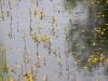 utricularia-australis-024