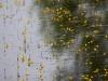 utricularia-australis-025