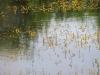 utricularia-australis-026