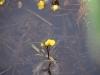 utricularia-australis-029