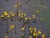utricularia-australis-030