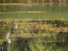 utricularia-australis-033