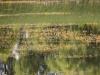utricularia-australis-034