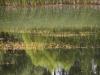 utricularia-australis-035