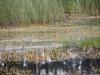 utricularia-australis-036