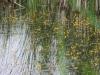utricularia-australis-038