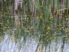 utricularia-australis-040
