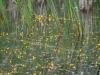 utricularia-australis-041