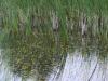 utricularia-australis-042