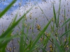 utricularia-australis-043