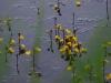 utricularia-australis-044