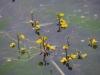 utricularia-australis-046