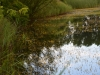 utricularia-australis-048