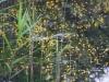 utricularia-australis-049