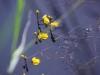 utricularia-australis-055