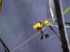 utricularia-australis-056