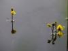 utricularia-australis-058