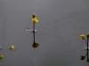 utricularia-australis-060