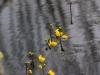 utricularia-australis-062
