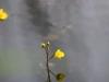 utricularia-australis-063