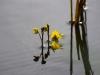 utricularia-australis-064