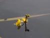 utricularia-australis-066
