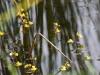 utricularia-australis-067