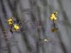 utricularia-australis-068