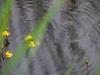 utricularia-australis-072