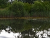 utricularia-australis-076