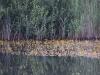 utricularia-australis-077