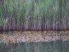 utricularia-australis-078