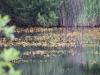 utricularia-australis-080
