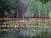 utricularia-australis-081
