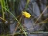 utricularia-australis-090