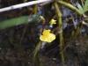 utricularia-australis-091