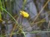 utricularia-australis-095