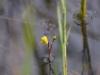 utricularia-australis-096