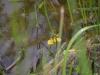 utricularia-australis-097