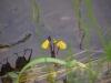utricularia-australis-098