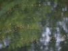 utricularia-australis-100