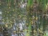 utricularia-australis-102